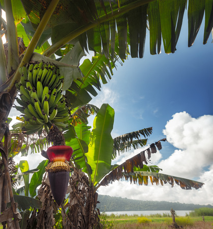 Banana tree with bunch of green bananas and red banana flower Stock Photo