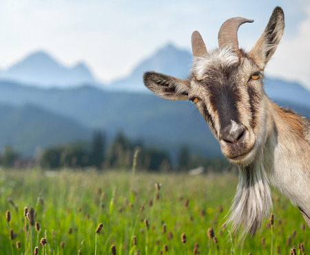 Goat portrait on a green summer meadow and mountains background