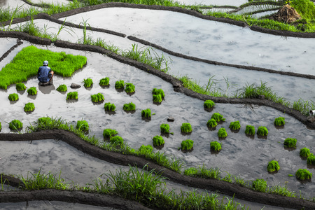 cultivated land: Man planting green rice roots in a wet cultivated land