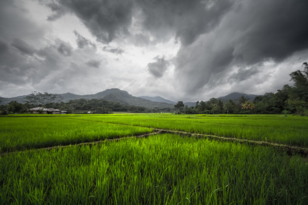 flores: Rice fields on the island of Flores, Indonesia