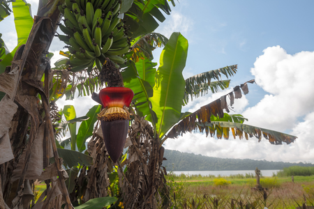 agruculture: Banana tree with bunch of green bananas and red banana flower Stock Photo