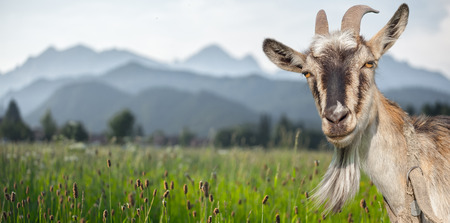Goat portrait on a summer meadow and mountains background Reklamní fotografie - 53523893