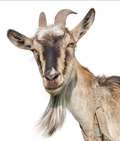 Goat isolated on a white background. Transparent PNG file available Фото со стока - 53524005
