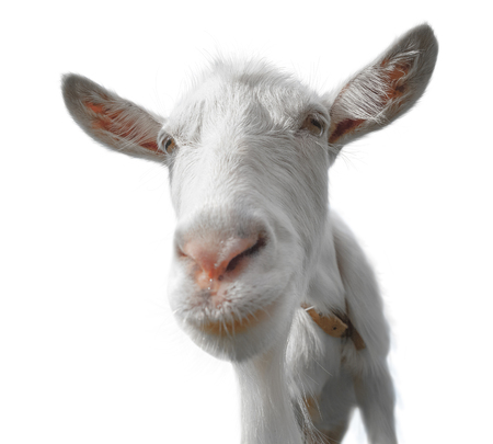 Young goat isolated on the white background. Transparent PNG file is available Stock Photo