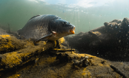 cyprinidae: Underwater shot of the fish (Carp of the family of Cyprinidae) in a pond near the bottom