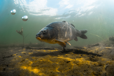 peces: Tiro bajo el agua de los peces (carpa de la familia de los ciprínidos) en un estanque cerca de la parte inferior