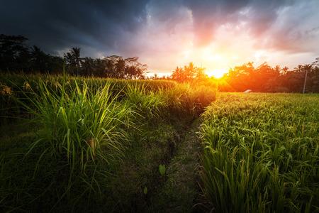 인도네시아 발리 섬의 논밭 스톡 콘텐츠