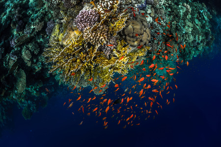 ras: Top view of the coral reefs with tiny fish in the Ras Muhammad National Park. Egypt
