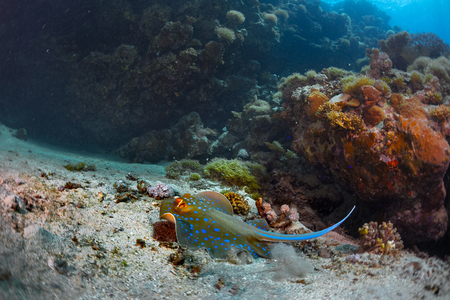 ras: Coral reefs with stingray in the Ras Muhammad National Park. Egypt Stock Photo