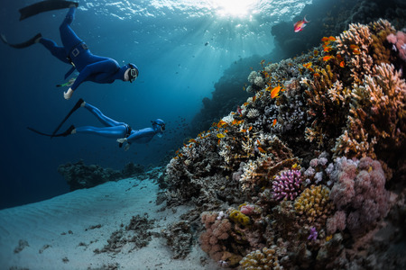 freediver: Two freedivers swimming underwater over vivid coral reef. Red Sea, Egypt
