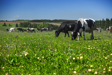 sky and grass: Cows grazing on a summer meadow in sunny day Stock Photo