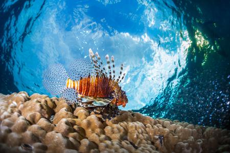 lions rock: Lion fish underwater shot against blue sky background