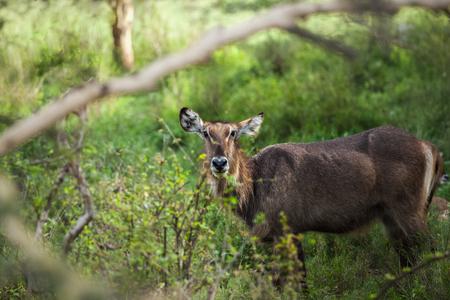 stays: Deer stays in the green meadow