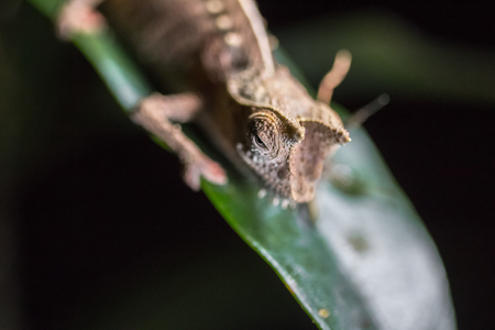 Close up shot of the chameleon on the green leaf in a forest. Focus on the head. Madagascar