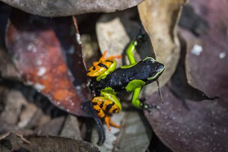 amphibia: Beautiful Mantella (Mantella pulchra) endemic species of frog in Madagascar