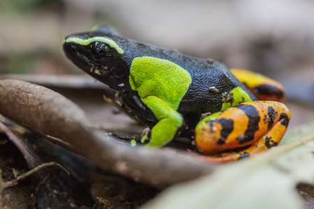 endemic: Beautiful Mantella (Mantella pulchra) endemic species of frog in Madagascar