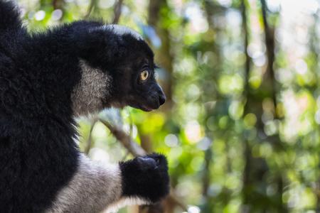 Close up shot of Indri lemur - endemic species of Madagascar