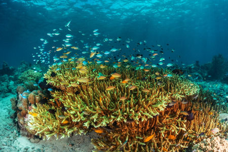 reef: Corals with small fish in the tropical sea. Stock Photo