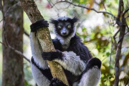Endemic indri lemur in natural habitat. Madagascar Stok Fotoğraf
