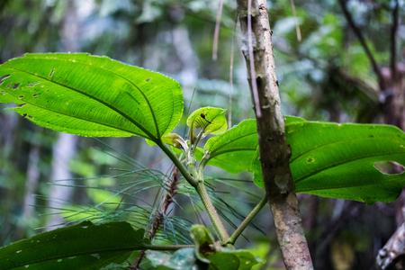 plants species: pianta esotica con punteruolo Giraffa endemica (Trachelophorus Giraffa) su di esso. Madagascar