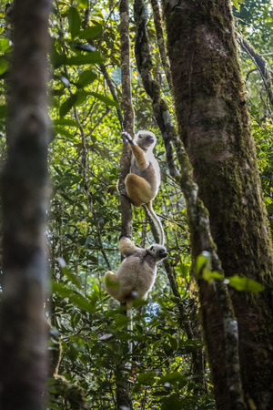 Diademed sifaka lemurs on a trees branch in a forest. Andasibe - Mantadia national park, Madagascar