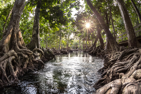 tha: Mangrove trees in a peat swamp forest and a river with clear water. Tha Pom canal, Krabi province, Thailand