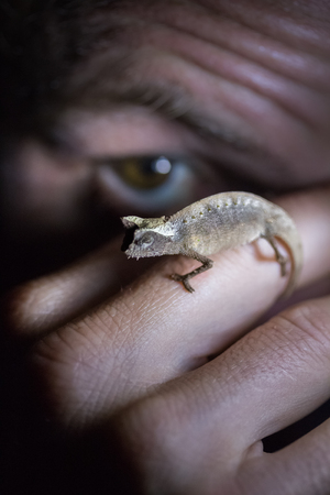 man's: Close up shot of the small nocturnal chameleon sitting on the mans finger. Focus on the chameleon. Madagascar Stock Photo