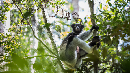 land animals: Shot of Indri  lemur sitting on branch and holding the tree. Madagascar Stock Photo