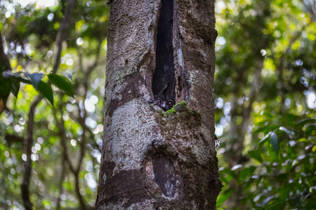 Sportive lemur hiding in the hollow of a tree. Madagascar