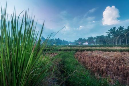 ubud: Rice field with building on the background. Ubud, Bali, Indonesia