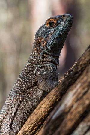 An iguana on the branchs tree in the forest, Madagascar Stock Photo