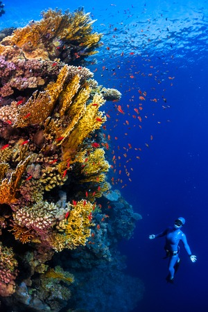 freediving: Underwater shot of the lady free diver ascending along the vivid coral reefs. Red Sea, Egypt