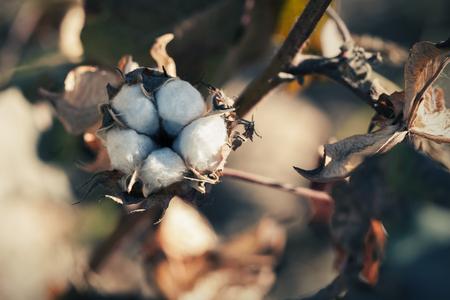 bolls: Cotton ball close up shot Stock Photo