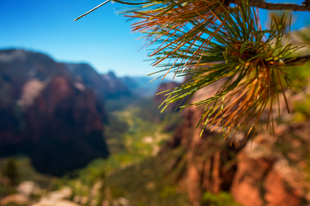 Close up of branch of pine tree with Zion National Park on the background, USA