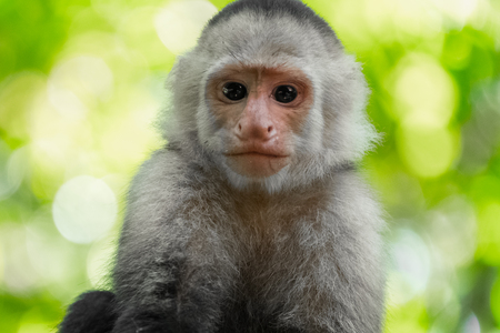 White headed capuchin monkey (Cebus capucinus) in a wild with natural background