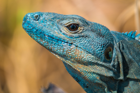 Close up shot of head of iguana with dry grass on the background