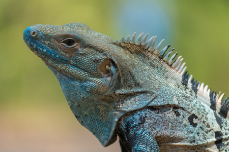 Close up shot of the iguana on the natural background