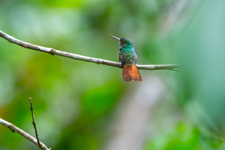 The rufous tailed hummingbird (Amazilia tzacatl) sits on the branch. Costa Rica Stok Fotoğraf