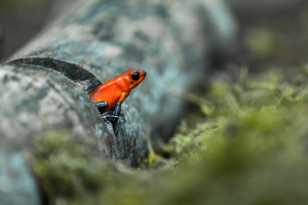 dendrobates: Strawberry poison frog or strawberry poison-dart frog (Oophaga pumilio, formerly Dendrobates pumilio) Stock Photo
