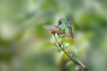 舞い降りる尾ハチドリ (Amazilia tzacatl) は、森にフィードします。コスタリカ