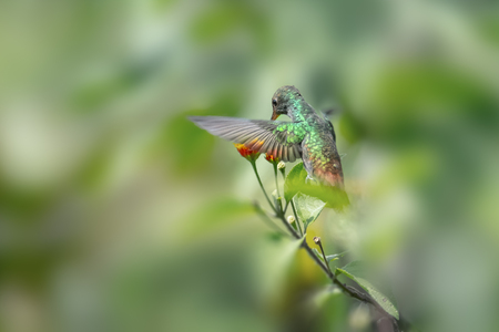Rufous tailed hummingbird (Amazilia tzacatl) feeds in the forest. Costa Rica Stock Photo - 77438927
