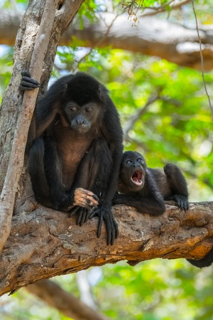 face in tree bark: Mantled howler (Alouatta palliata). Female of golden mantled howling monkey with baby on the tree. Stock Photo