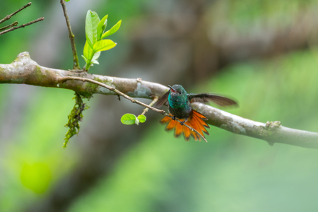 The rufous tailed hummingbird (Amazilia tzacatl) cleans its wings (slighly motion blurred). Costa Rica
