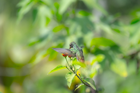 Rufous tailed hummingbird (Amazilia tzacatl) feeds in the wild. Costa Rica