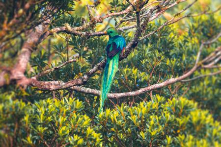 Male of resplendent quetzal (Pharomachrus mocinno) on the tree. Costa Rica