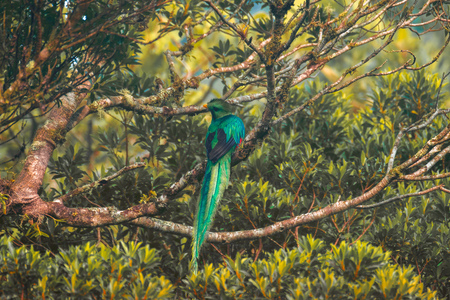 Resplendent quetzal (Pharomachrus mocinno) male sits on the tree. Costa Rica
