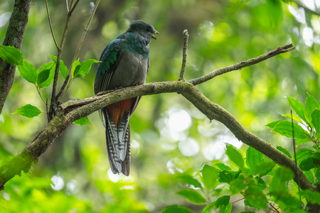 Resplendent quetzal (Pharomachrus mocinno) female sits on the branch of tree in the forest. Costa Rica Stok Fotoğraf