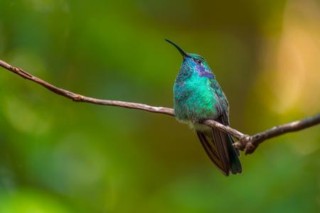 Lesser violetear hummingbird sits on branch. Costa Rica. Colibri cyanotus Reklamní fotografie - 79018572