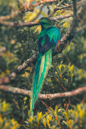 Resplendent quetzal male sits on the tree. Costa Rica. Pharomachrus mocinno