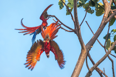 Two scarlet macaws (Ara macao) parrots play on the tree. Costa RIca